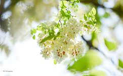 Tavasz, akácfavirág