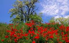 vadvirág pipacs tavasz virágzó fa