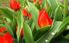 tavaszi virág vízcsepp tulipán tavasz