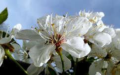 tavasz, virág, magyarország