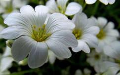 fehér virág, tavasz, magyarország
