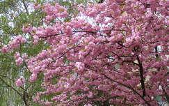 tavasz virágzó fa