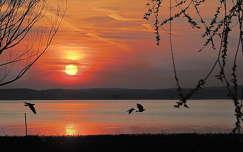 magyarország tó balaton vizimadár naplemente