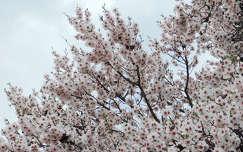 virágzó mandulafa, magyarország