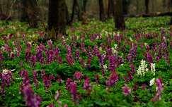 tavasz erdő tavaszi virág vadvirág
