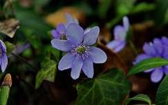 nemes májvirág tavaszi virág