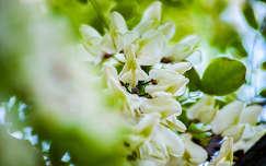 Akácfavirág, tavasz