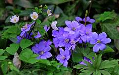 nemes májvirág tavasz tavaszi virág