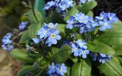 tavaszi virág nefelejcs