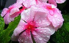 Rózsameténg eső után