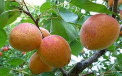 barack gyümölcs