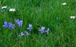 tavasz, ibolya, vadvirág, magyarország