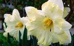 tavasz, nárcisz, magyarország