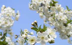 gyümölcsfavirág virágzó fa tavasz