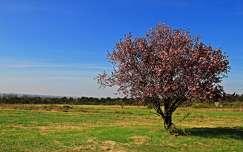 virágzó fa fa tavasz