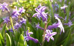 tavaszi virág jácint