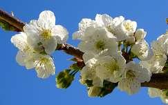 Cseresznye virágzás