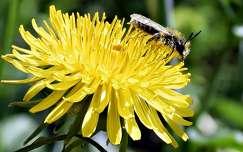 rovar pitypang vadvirág méh