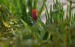tulipán tavaszi virág