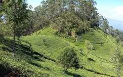 Sri Lanka teaültetvények Haputale közelében 2017. február