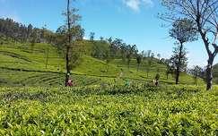 Sri Lanka, teaszedők Haputale közelében 2017. február