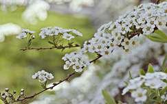 tavaszi virág gyöngyvessző