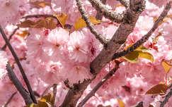japán cseresznye tavasz