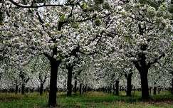 Cseresznye fák virágbaborulva