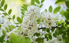 Akácvirág, tavasz
