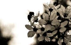 Tavasz, méh, szépia, alak, árny