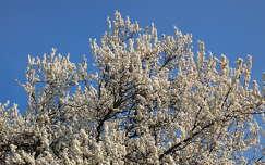 Tavasz, Virágzás, Virág, Fa, Szilvafa
