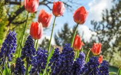 tavaszi virág fürtösgyöngyike tulipán