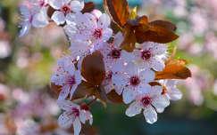 Szilvafa virága, tavasz, napfény, bokeh