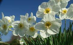 tavaszi virág nárcisz tavasz