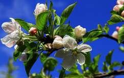 gyümölcsfavirág tavasz