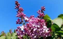 lila orgona, magyarország