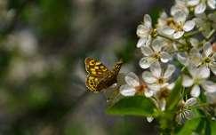 gyümölcsfavirág tavasz lepke