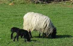 háziállat juh bárány