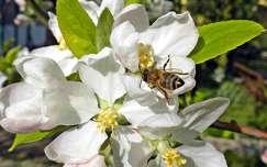 gyümölcsfavirág rovar méh