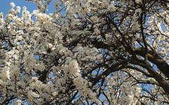 Tavasz, Virágzás, Szilvafa