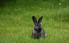 Nyuszi ül a fűben, szépen szundikálva.
