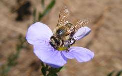 rovar vadvirág méh