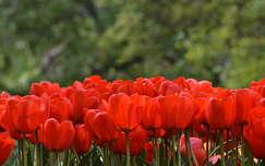 tavaszi virág tavasz tulipán