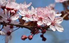 Tavasz, szilvafa virág