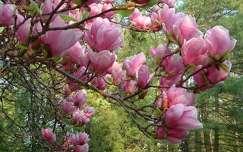 tavasz magnólia