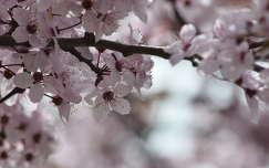 virágzó fa