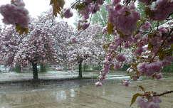 Havas virágzó fák Gödöllőn