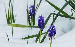 tavaszi virág tél fürtösgyöngyike tavasz