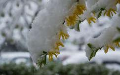 Tél a tavaszban, lehavazott aranyeső