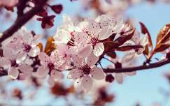 Szilvafa virága, tavasz